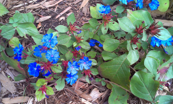 plant of the day plumbago  cait's garden, Natural flower